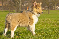 Collie puppy sunny Stock Image