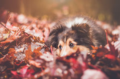 Collie Resting In Leaves