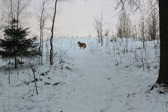 Collie rojo en bosque de la nieve Imagenes de archivo