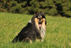 Collie-rough. Collie rough on the meadow Royalty Free Stock Photo