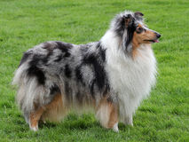 Collie Rough Blue-merle dog Royalty Free Stock Image