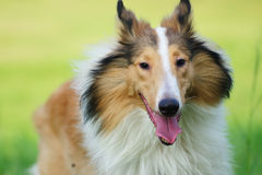 Collie rough dog Stock Images