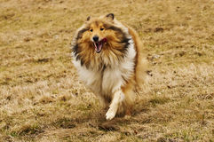 Collie running Royalty Free Stock Photos