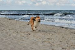 Collie. A collie is running on the strand Royalty Free Stock Images