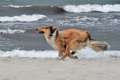 Collie Royalty Free Stock Images