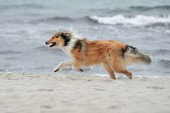 Collie. A collie is running at the strand Stock Photos