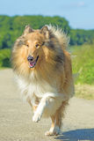 Collie running Royalty Free Stock Images