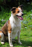 Collie sheep dog royalty free stock images