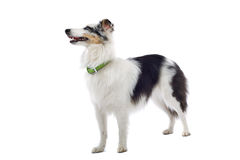 Collie Sheepdog stock image