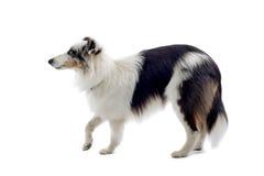 Collie Sheepdog Royalty Free Stock Photos