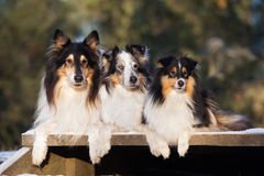 Collie and sheltie dogs outdoors Royalty Free Stock Photos