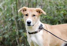 Collie Shepherd a mélangé le chiot de chien de race Photographie stock libre de droits