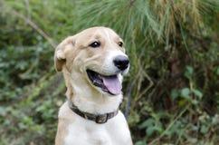 Collie Shepherd a mélangé le chiot de chien de race Images stock