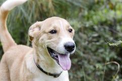 Collie Shepherd mezcló el perro de perrito del perro callejero de la raza Fotografía de archivo libre de regalías