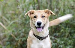 Collie Shepherd mezcló la cola que meneaba del perro de perrito del perro callejero de la raza Foto de archivo libre de regalías