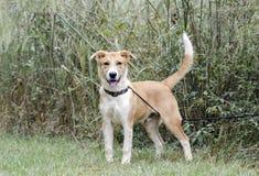 Collie Shepherd mezcló la cola que meneaba del perro de perrito del perro callejero de la raza fotos de archivo
