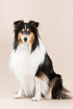 Collie sitting Stock Images