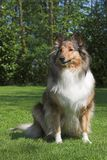 Collie Sitting Stock Photo