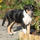 Collie Smooth in the garden Stock Photography
