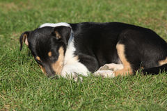 Collie Smooth in the garden Royalty Free Stock Images