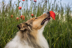Collie sniffing the poppy Stock Photography