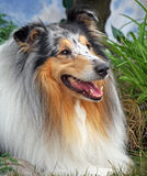 Collie áspero bonito Foto de Stock