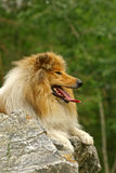 Collie on a stone Royalty Free Stock Photography