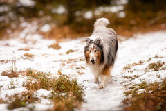 Collie walking in the snow Royalty Free Stock Photography