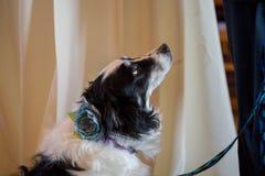 Collie Wedding Dog stock photography