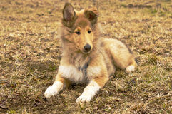 Collie whelp Royalty Free Stock Images