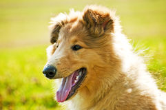 Collie whelp Royalty Free Stock Image