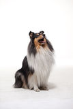 Collie on the white background. Champion Tricolor Collie and  white background Stock Photography