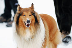 Collie on a winter stroll Stock Images