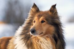Collieherder in de winter in openlucht, grote close-up stock fotografie
