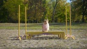 Colliehond die bij hindernis bij behendigheid de opleiding springen stock video