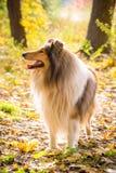Colliehond die zich op de herfstbos bevinden stock afbeelding