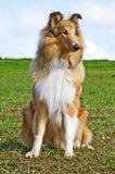 Colliehund arkivfoto