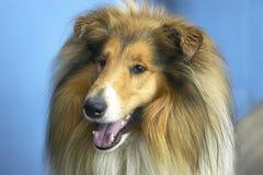 colliehund royaltyfria bilder
