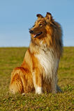 Colliehund Stockbild