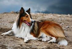 colliehund Royaltyfri Bild