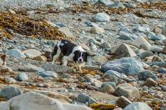 Colliehund Stockbild