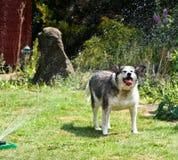 Colliehund, der eine Dusche genießt Stockbild