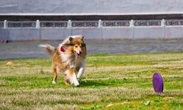 Colliehund, der Wettbewerbe einer Frisbeediskette nachläuft Stockfotos