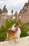 Colliehund im cappadocia Lizenzfreie Stockfotos