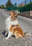 Colliehund som sitter och ser upp royaltyfria foton