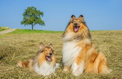 Colliehunde lizenzfreie stockfotografie