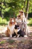 Colliehundefamilie Stockfoto