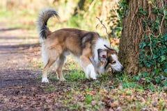 Colliehunden arkivbild