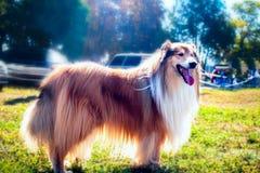 Colliehunden i parkerar royaltyfri fotografi