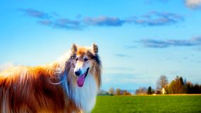 Colliehunden i parkerar royaltyfria bilder